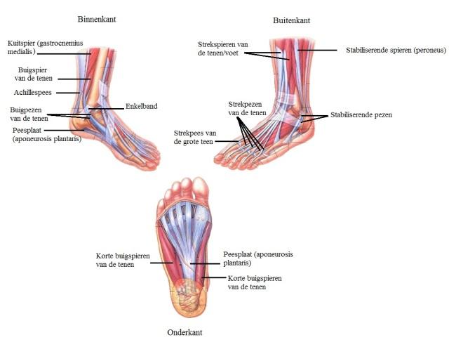 anatomievoet2